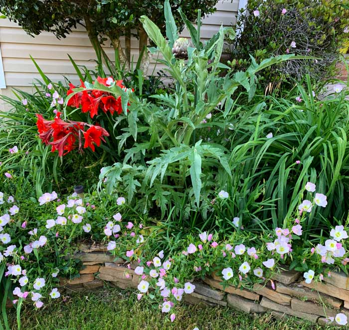 A purple artichoke, daylilies, evening primrose, garlic chives, sylvetta arugula, and amaryllis flowers in a bed in front of our house. This bed gets a supervised visit from our ducks each night, but still stays reasonably attractive.