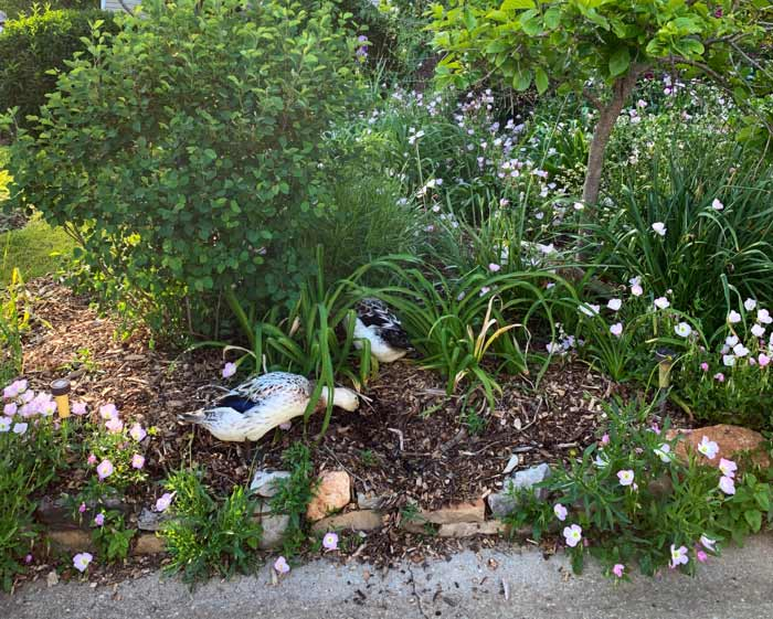 One of our ducks' favorite activities is finding spots where our rock retaining walls are lower than the mulch, so they can push mulch out of the beds.