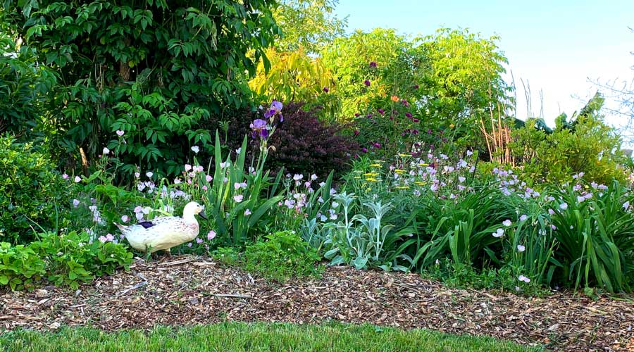 5 tips to keep your ducks from destroying your yard or garden thumbnail