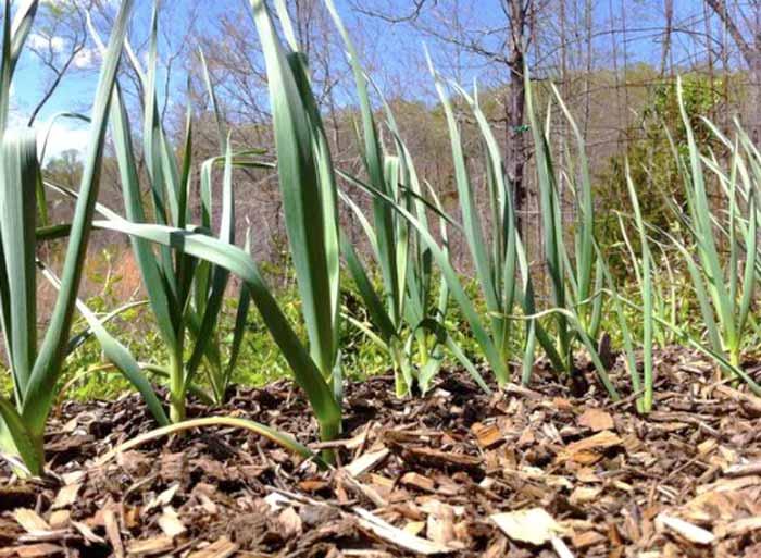 Hardneck garlic enjoying late winter sun.