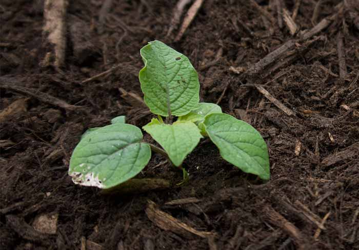 A newly transplanted ground cherry seedling, mulched and ready to grow.