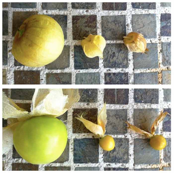 Three types of Physalis fruits we grow every summer. Top shows husks on, bottom shows husks off. From left to right: tomatillos (Physalis philadelphica), ground cherries (Physalis pruinosa), Incan golden berries (Physalis peruviana).