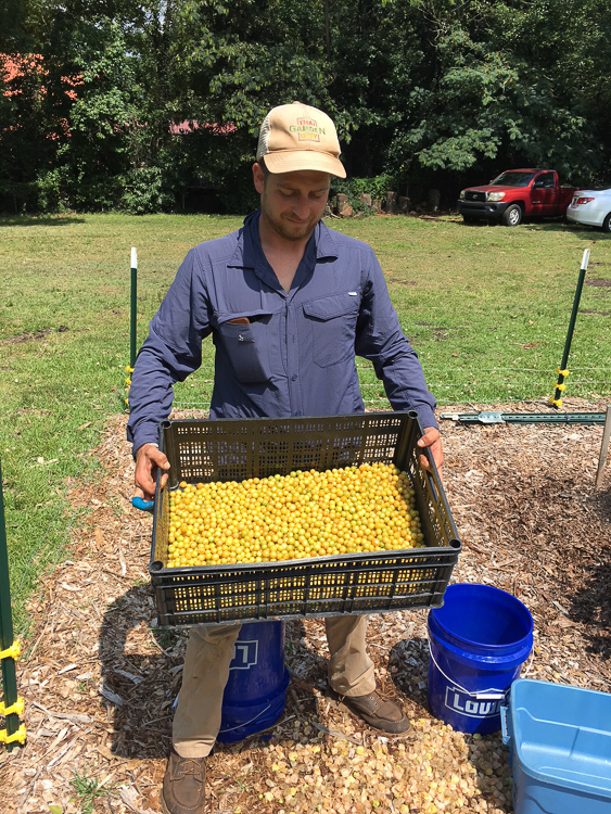 My friend, Chris Miller, holding 10 pounds of freshly picked, husked ground cherries that we grew last summer for local Greenville restaurants.