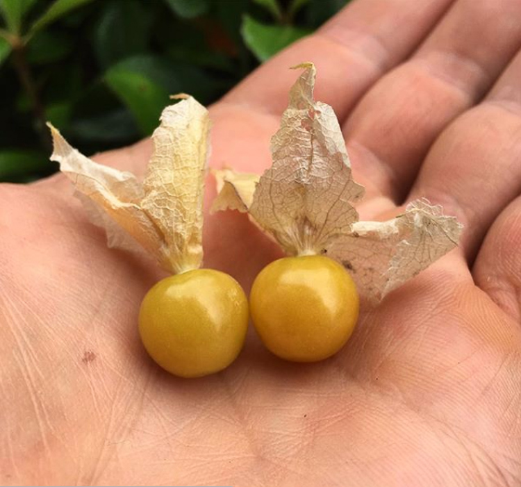 Beautiful, golden-ripe ground cherries with the husks pulled back to expose the fruit.