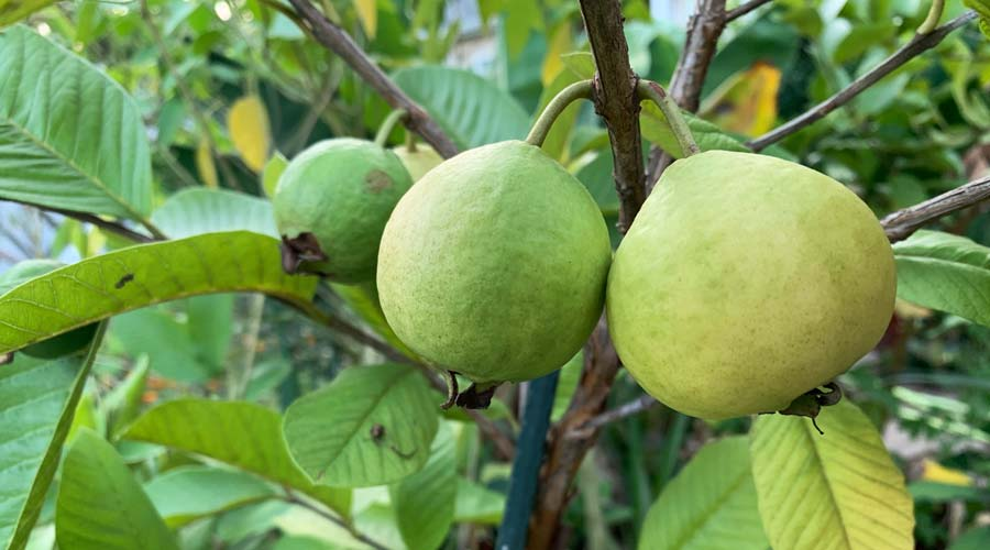 How to grow guavas in containers in non-tropical regions thumbnail
