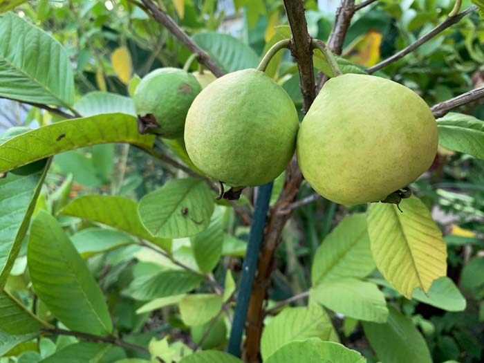 Peruvian white guavas on our tree. The fruit on the top right is closest to being ripe!