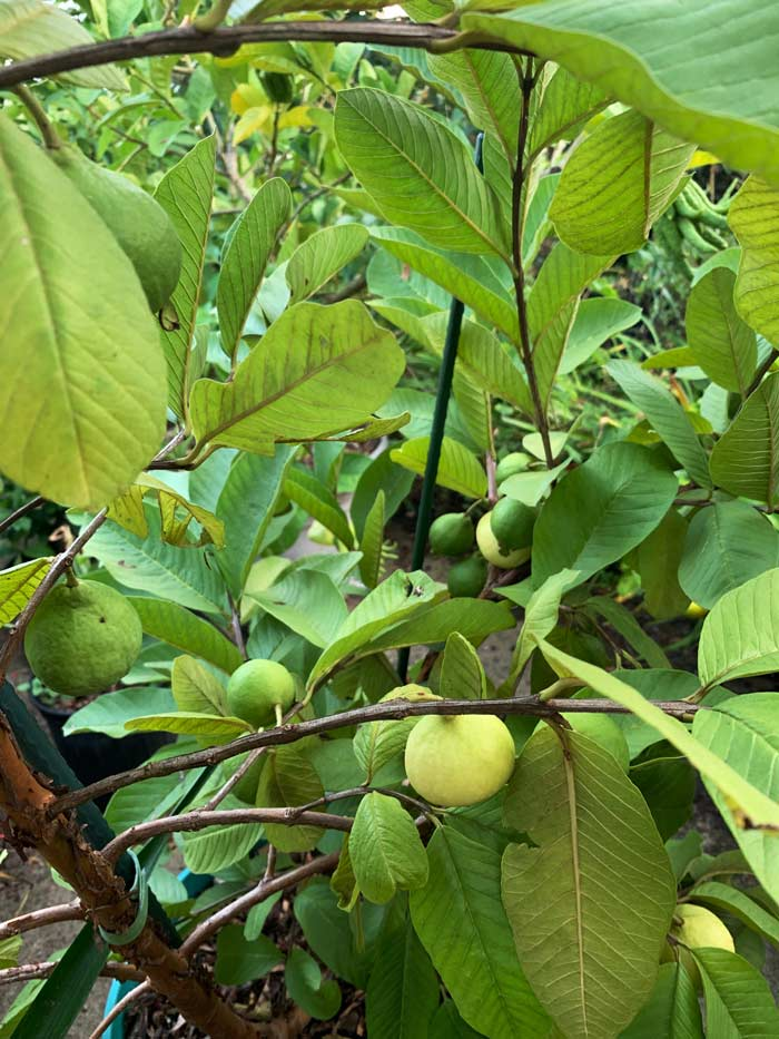 Fruit ripening on our Peruvian white guava tree, growing in a pot in Ag Zone 7b on the outskirts of Greenville, SC. We definitely don't live in the tropics (we're at the base of the Appalachian Mountains), but that doesn't mean we (and you) can't grow tropical fruit! How to grow guavas in cool climate regions;