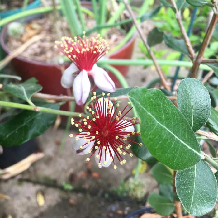 The outside petals on pineapple guava flowers are outrageously delicious. The have a thick, soft texture and a candy-sweet flavor.