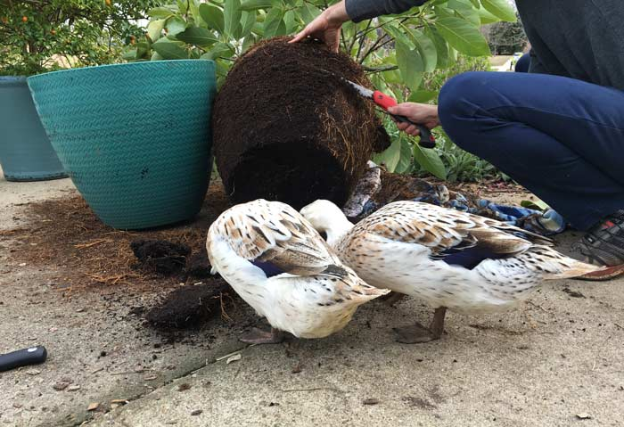 Me sawing back the roots on our root bound potted avocado tree. No, pet ducks are not required to trim your root bound plants, but they'll happily help if your pots have worms in them.