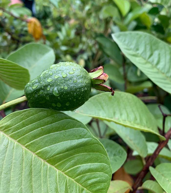 A young unripe guava fruit. Gardening is the ultimate teacher of delayed gratification. We had to work for nearly 18 months before enjoying our first tree-ripened guava fruit. How to grow guavas in cool regions.