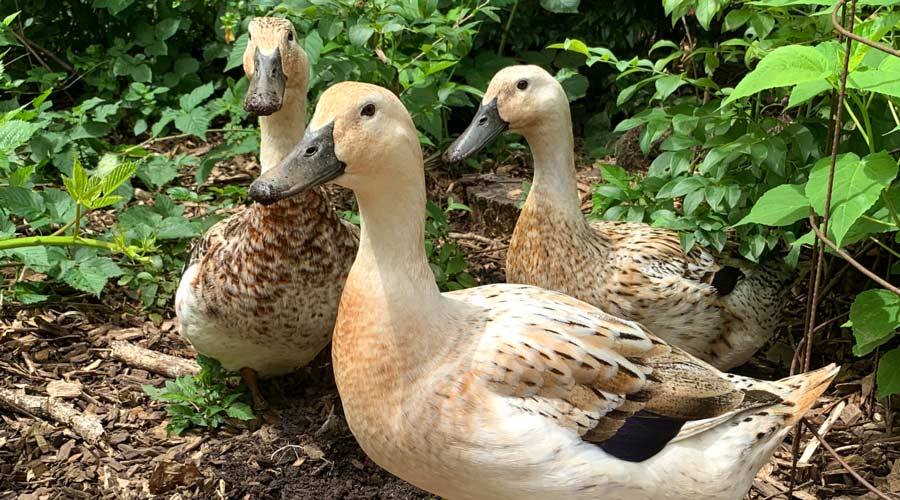 How to herd your ducks (aka get your ducks in a row!) - with video thumbnail