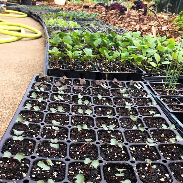 Spring seedlings coming to life at Tyrant Farms in late winter: kale, broccoli, arugula, celtuce, kalettes, and other assorted goodies.