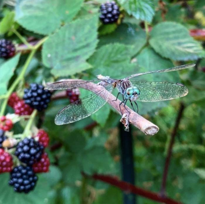 Since we have a water feature (duck pond), we get lots of dragonflies in our gardens each summer. To optimize their pest control potential, we intentionally create hunting perches for them throughout our garden. This is a Blue Dasher (Pachydiplax longipennis), enjoying a view from atop a perch in one of our blackberry patches (in this case, one of last year's dead canes). Who hates dragonflies? Mosquitos. An adult dragonfly can eat 30-100 mosquitos per day. Since their larvae are aquatic predators that can take up two years to mature, they also spend the first part of their lives consuming huge numbers of mosquito larvae as well.