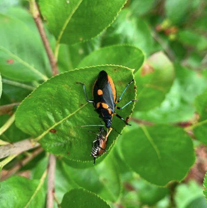 Yes, we have organic control methods for Japanese beetles, but we also rely on predators to do a lot of the work, too. Here's a Florida predatory stink bug (often mistaken for pest harlequin bugs) making a meal of a Japanese beetle that was trying to make a meal of aronia leaves. Try to know what your predatory insects look like at each stage in their life cycle so you don't accidentally kill a friend. Also remember that without pest insects, you won't have predatory insects.