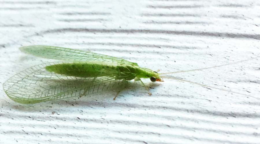 Lacewings: how to ID and attract this amazing, beneficial insect thumbnail