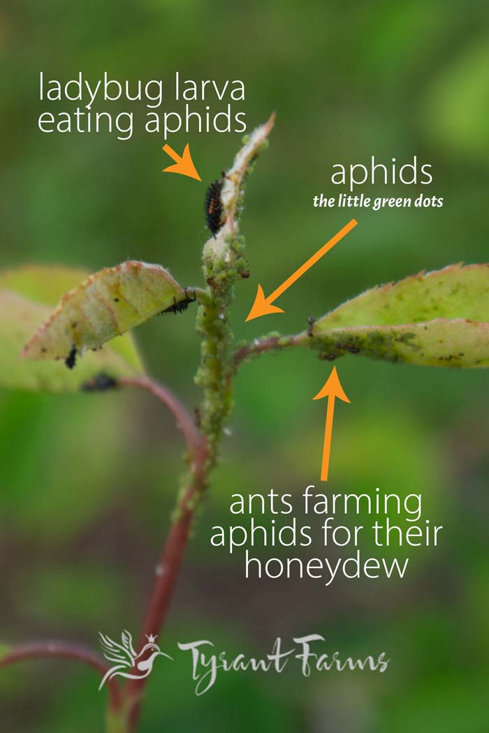 There's quite a lot happening on this single serviceberry branch. Ladybug larvae are hunting aphids while ants farm the aphids and try to protect their aphid