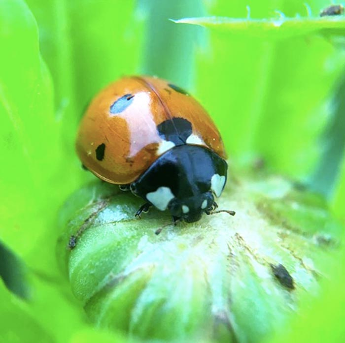 An adult ladybug hunting insects atop an unopened flower bud. What does a ladybug larvae look like?