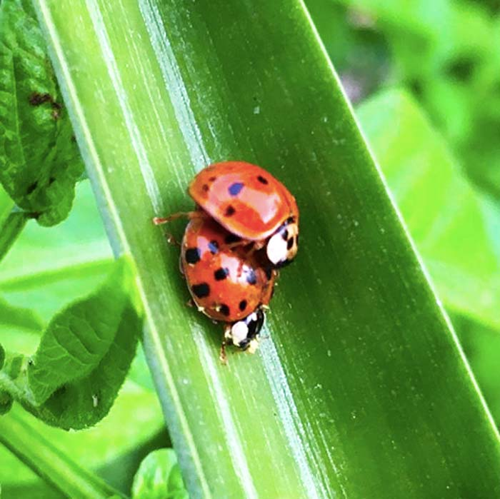 Ladybugs making new ladybugs on a pineapple leaf at Tyrant Farms. Mating ladybugs