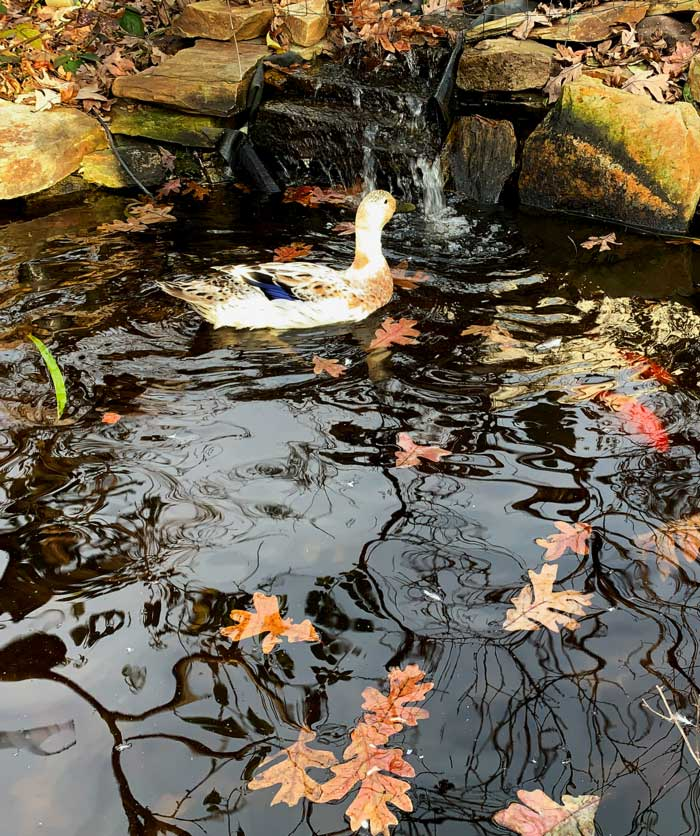 Pippa Luckinbill (one of our ducks), Cid and Nancy (two of our fish), and a pile of fall leaves. Our two Laguna pond pumps have a lot to keep up with.