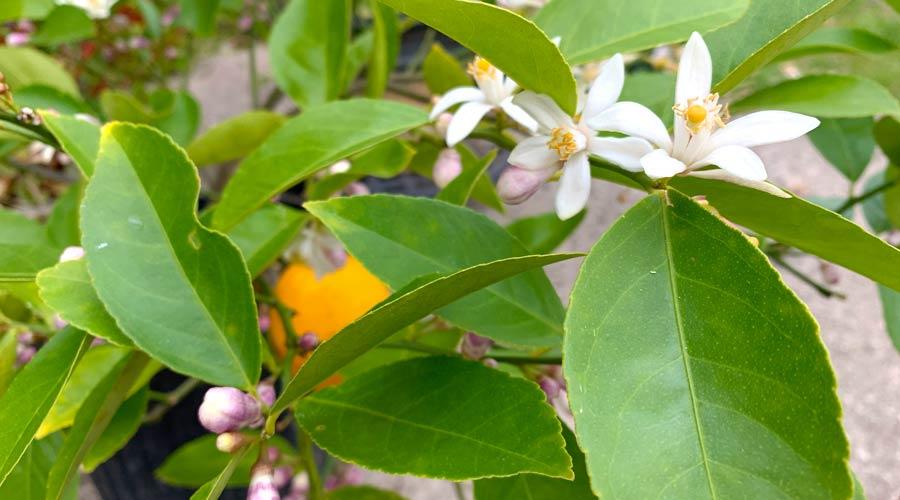 How to grow and make lemon blossom tea thumbnail