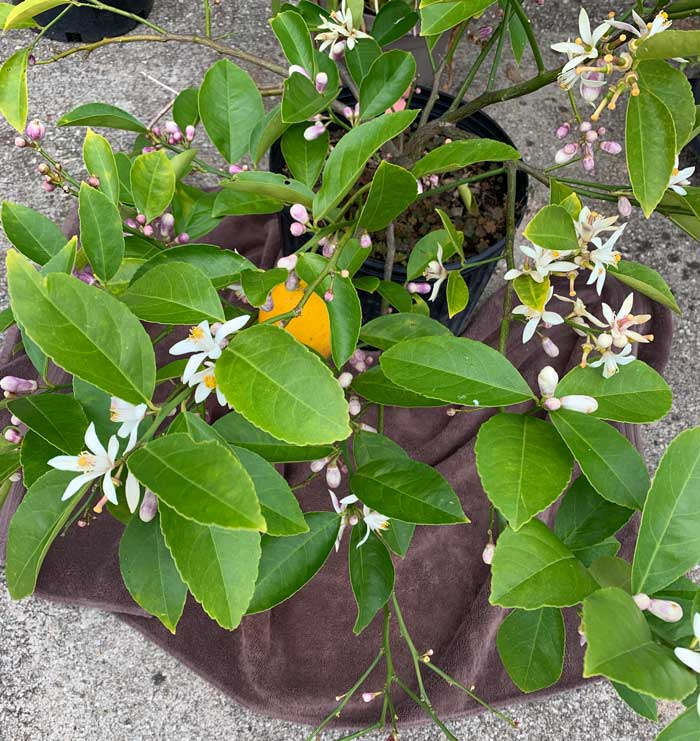 An old bath towel repurposed for a lemon blossom harvester! This young Meyer lemon tree has flowers far enough along in development to begin harvesting.