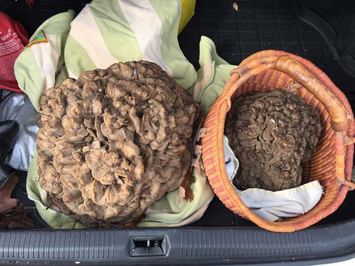 It's always nice to open the trunk of your car and see two giant maitake mushrooms staring back at you.