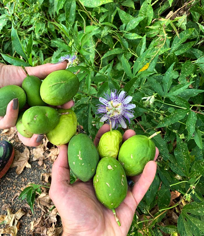 Maypop fruits at various stages of ripeness. The more green fruit in this image are equally tangy and sweet (our favorite). The older more wrinkly and yellow-skinned maypops are more sweet than tangy. Ripe maypops, passion fruit, passiflora incarnata