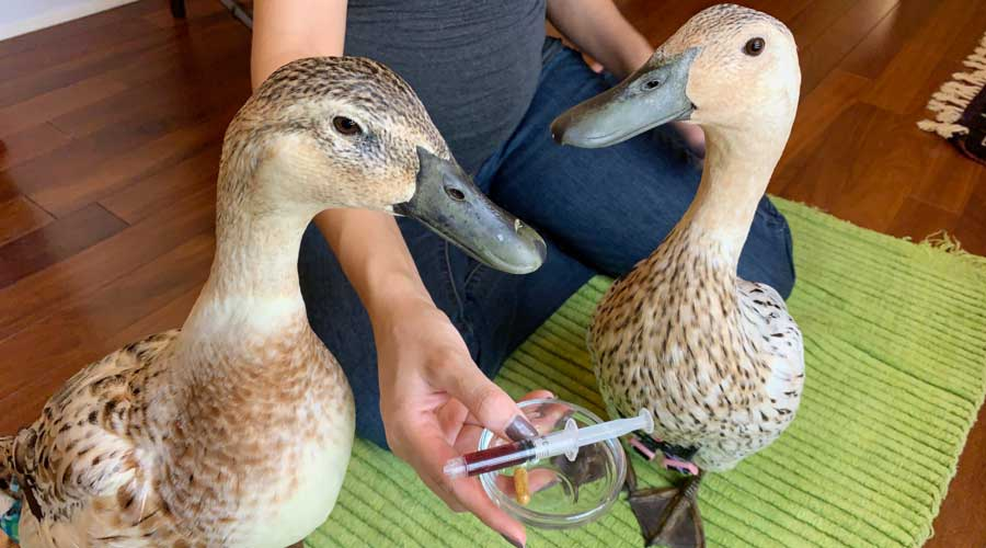 How to orally medicate ducks with pills or syringes (includes videos!) thumbnail