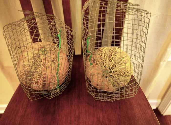 Keeping rodents off of cantaloupes using melon cages by Tyrant Farms