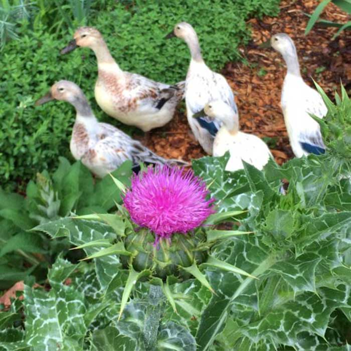 The ducks of Tyrant Farms staring warily up at a milk thistle flower.