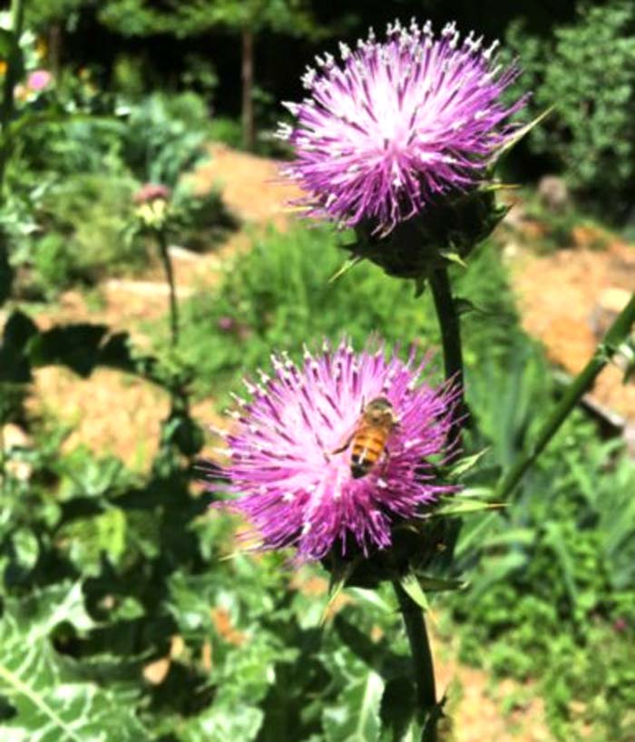 Milk thistle flowers are quite popular with honeybees.