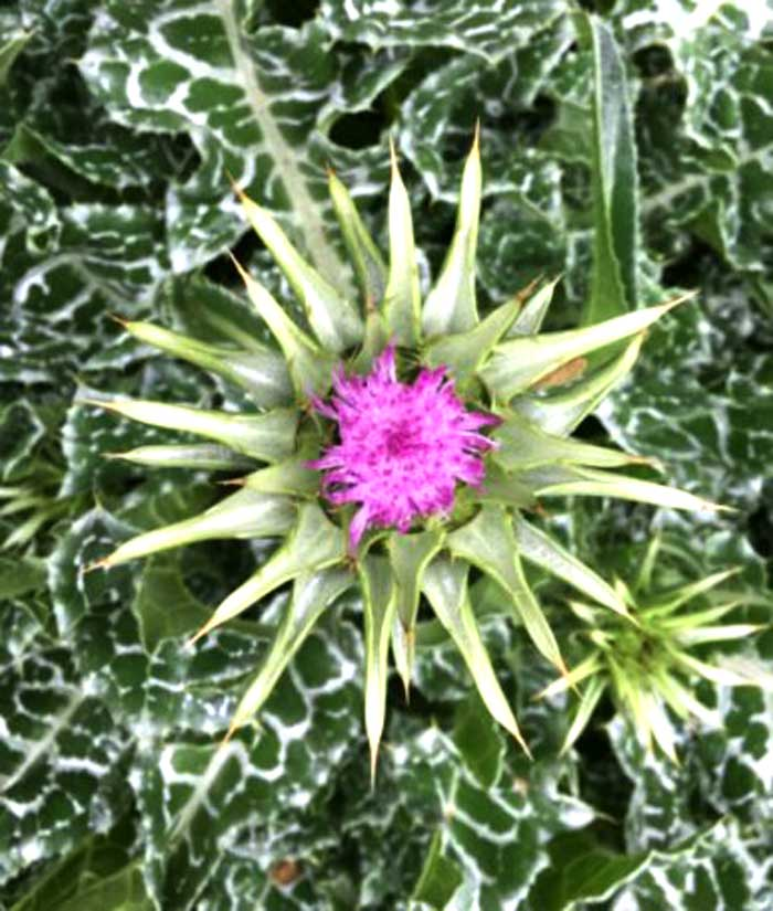 A milk thistle flower ripening and about to open.
