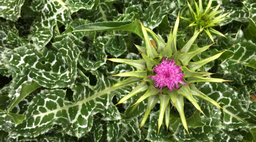 How to grow and use milk thistle thumbnail