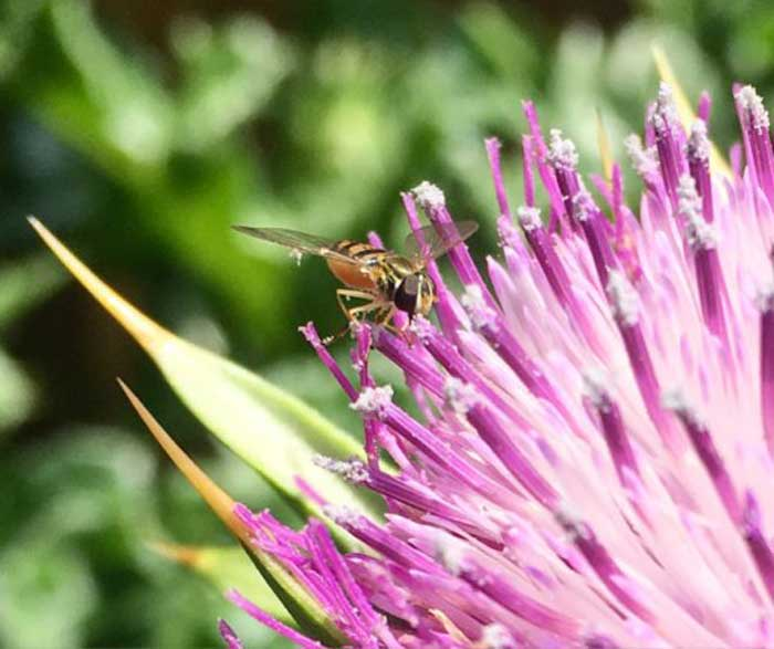 Syrphid fly foraging milk thistle. Adult syrphid flies are excellent pollinators and their larvae are voracious predators that consume common plant pests like aphids.