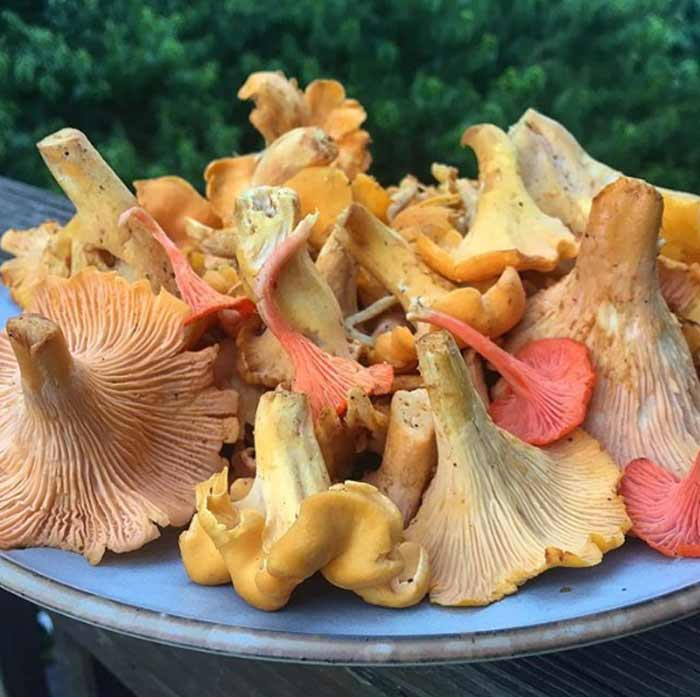 Gorgeous chanterelle and cinnabar mushrooms from a summer forage in the woods.