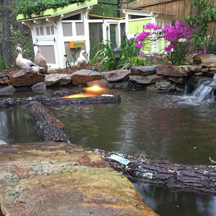 Since we originally wrote this article, we've since built our own backyard duckpond for our egg-laying Welsh Harlequin ducks. As you can see here, our duck pond makes an ideal spot to soak/initiate our shiitake mushroom logs - although our ducks might disagree! We usually soak our shiitake logs overnight so our girls can enjoy log-free swimming during the day. / How to grow shiitake mushrooms