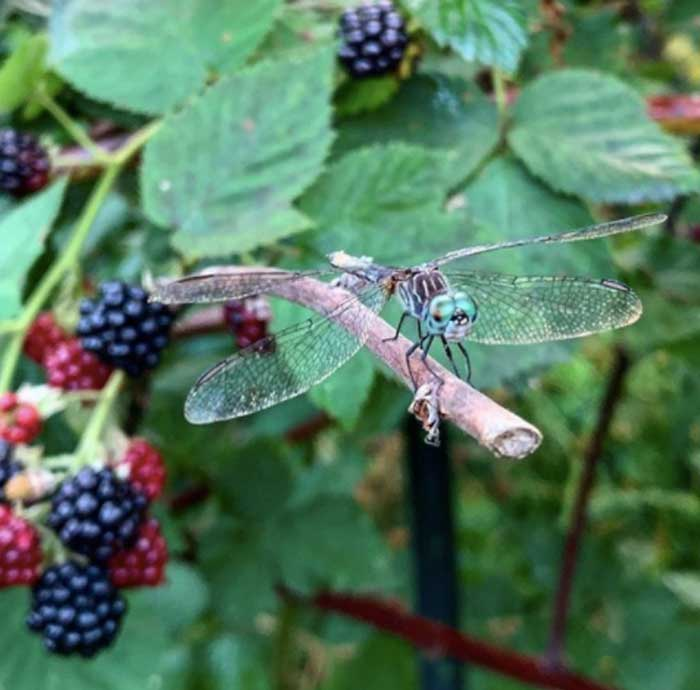 A dragonfly stands guard over a blackberry patch at Tyrant Farms.