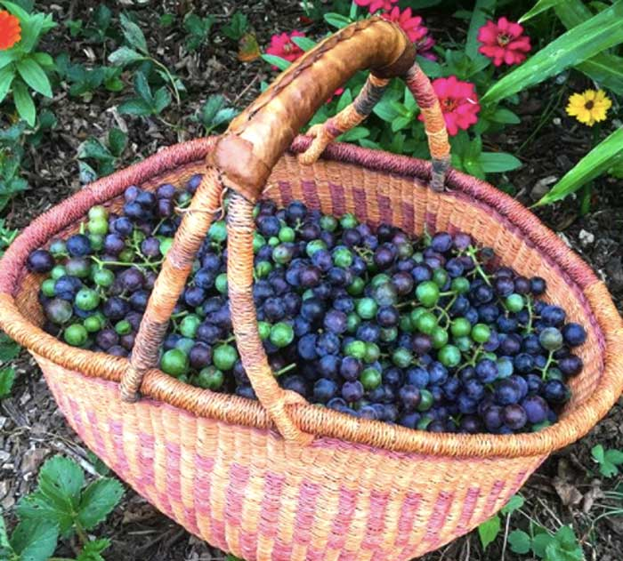 A basket of freshly picked Concord grapes.