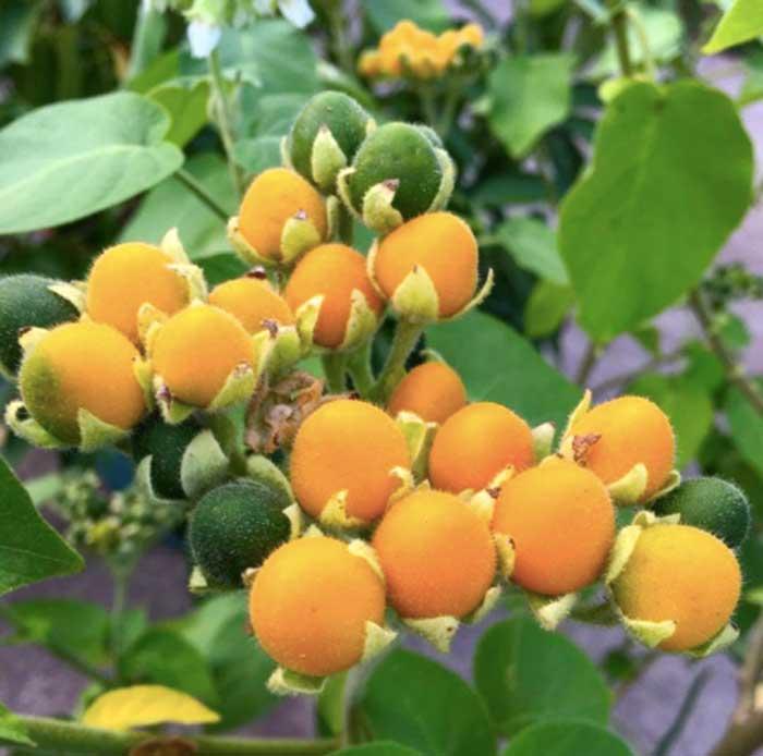 Dwarf tamarillos (Solanum abutiloides). Despite their name, they're not the same species as true tamarillos (Solanum betaceum).
