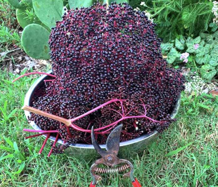 Keeping up with elderberry harvests can be challenging in the summer, especially since it takes a good bit of time to separate all the berries from the stems.