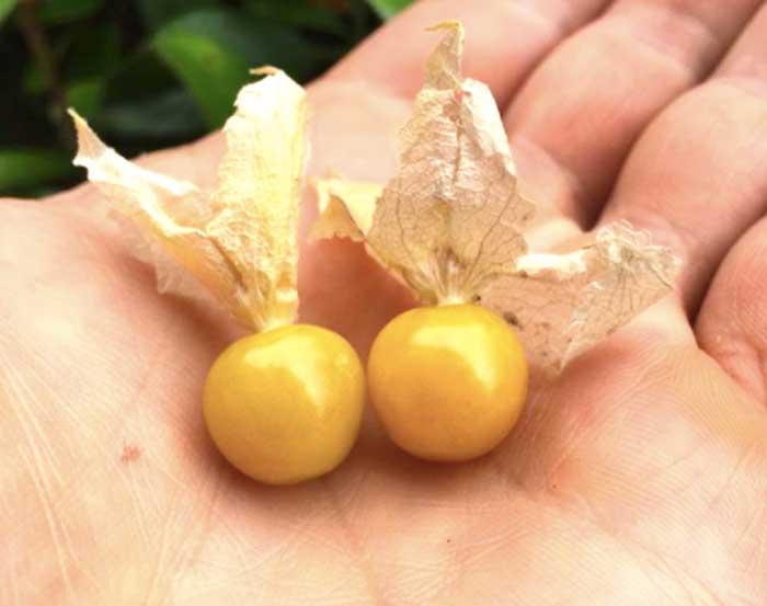 Golden ripe ground cherries.