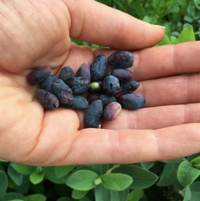 Honeyberries - tangy and delicious.
