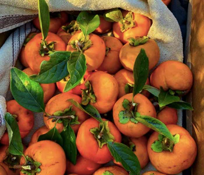 Japanese persimmons, picked last fall.