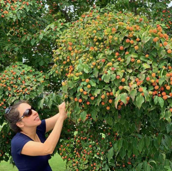 The Tyrant picking Kousa dogwood fruit.