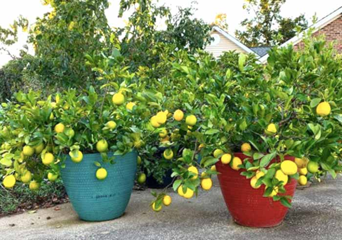 Citrus growing in pots at Tyrant Farms.