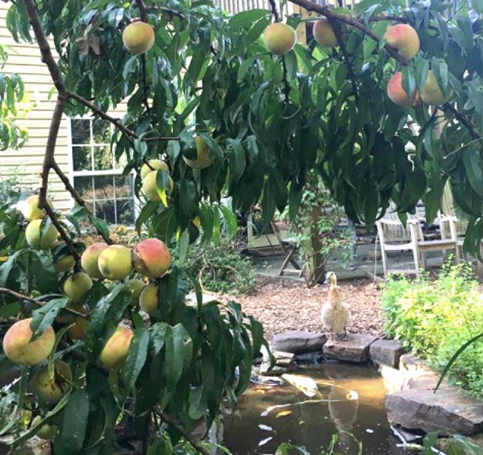 The peach tree overlooking our backyard duck pond. Our ducks don't like peaches, but they do an excellent job of fertilizing the tree.