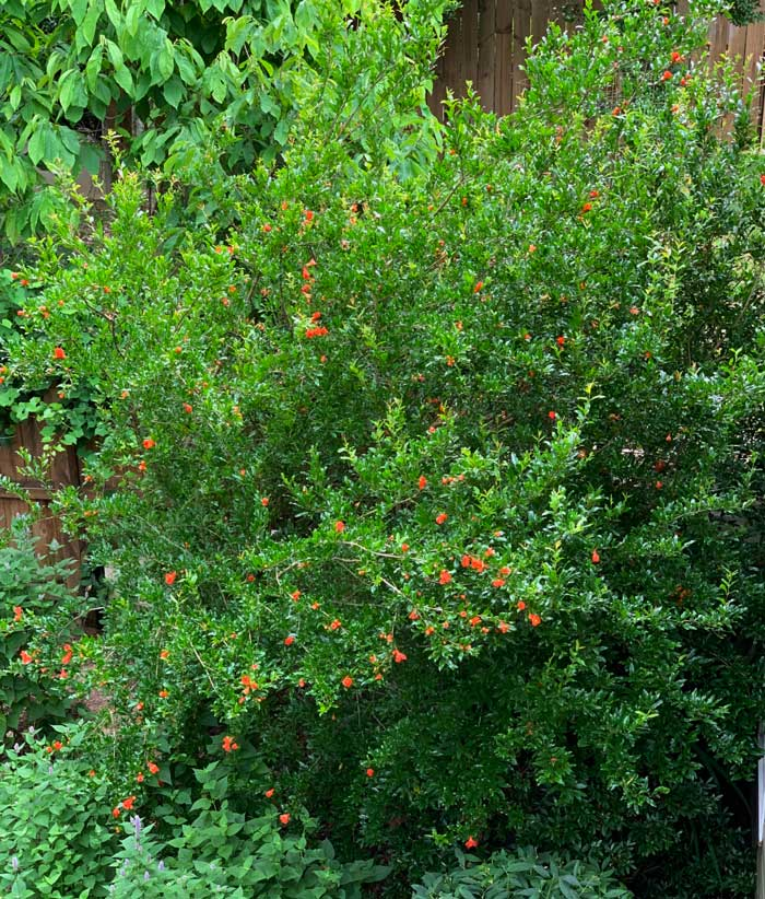 Our most mature pomegranate tree in full bloom.