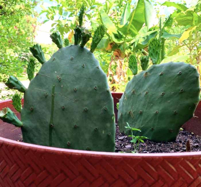 A young prickly pear cactus forming new pads and fruit.