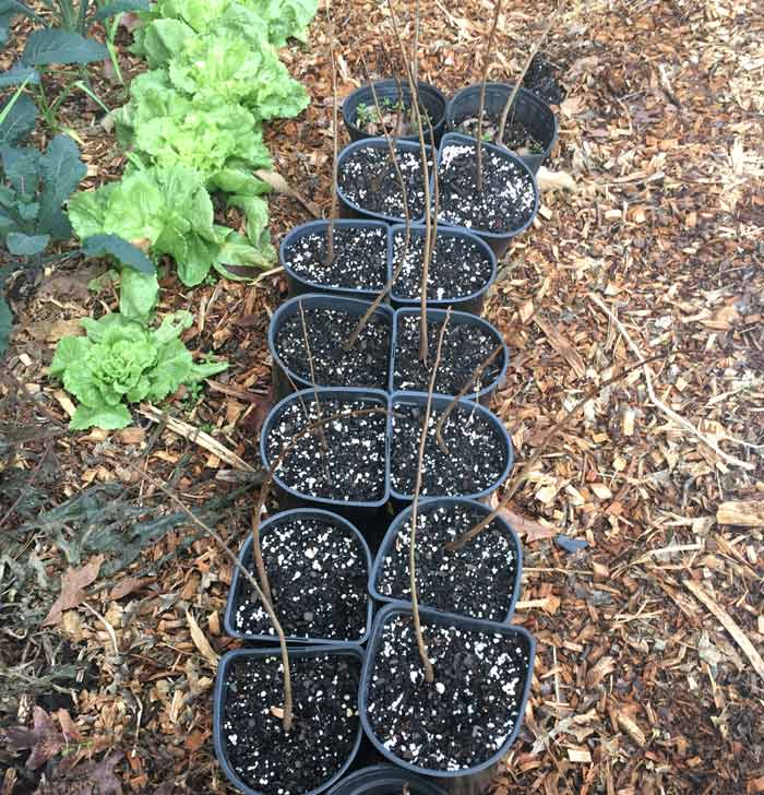 How to grow pawpaw trees - These dormant, two year old pawpaw saplings were just potted up to larger containers. They'll be kept in a shaded spot for one more summer before being transplanted to their final, full-sun spots in the ground.