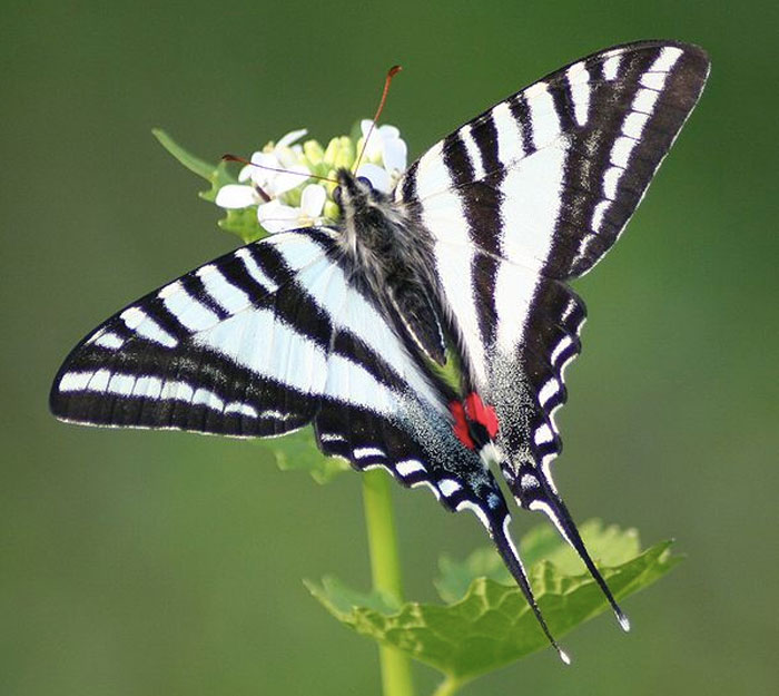 Photo of a Zebra Swallowtail butterfly taken by Megan McCarty, (CC BY 3.0).